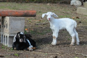 Baby goats (1 of 1)