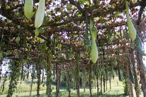 gourd trellis (1 of 1)