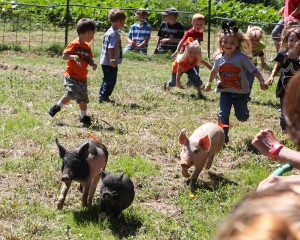 pigs (1 of 1)